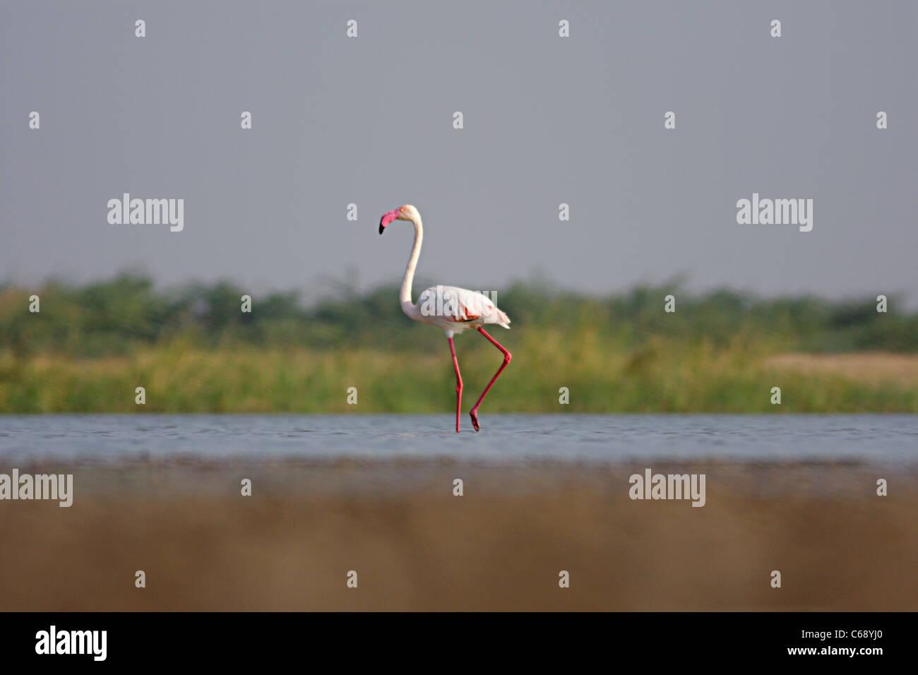 Greater Flamingo (Phoenicopterus roseus) At  Dasada, Surendranagar, Little Rann of Kutch,  Gujarat - Stock Image
