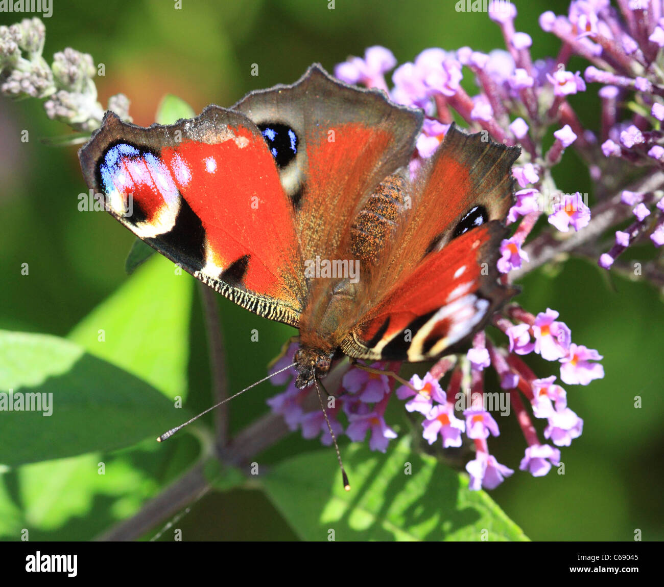 Peacock Butterfly ( Inachis io ) on a Buddleia flower, Worcestershire, England, Europe - Stock Image