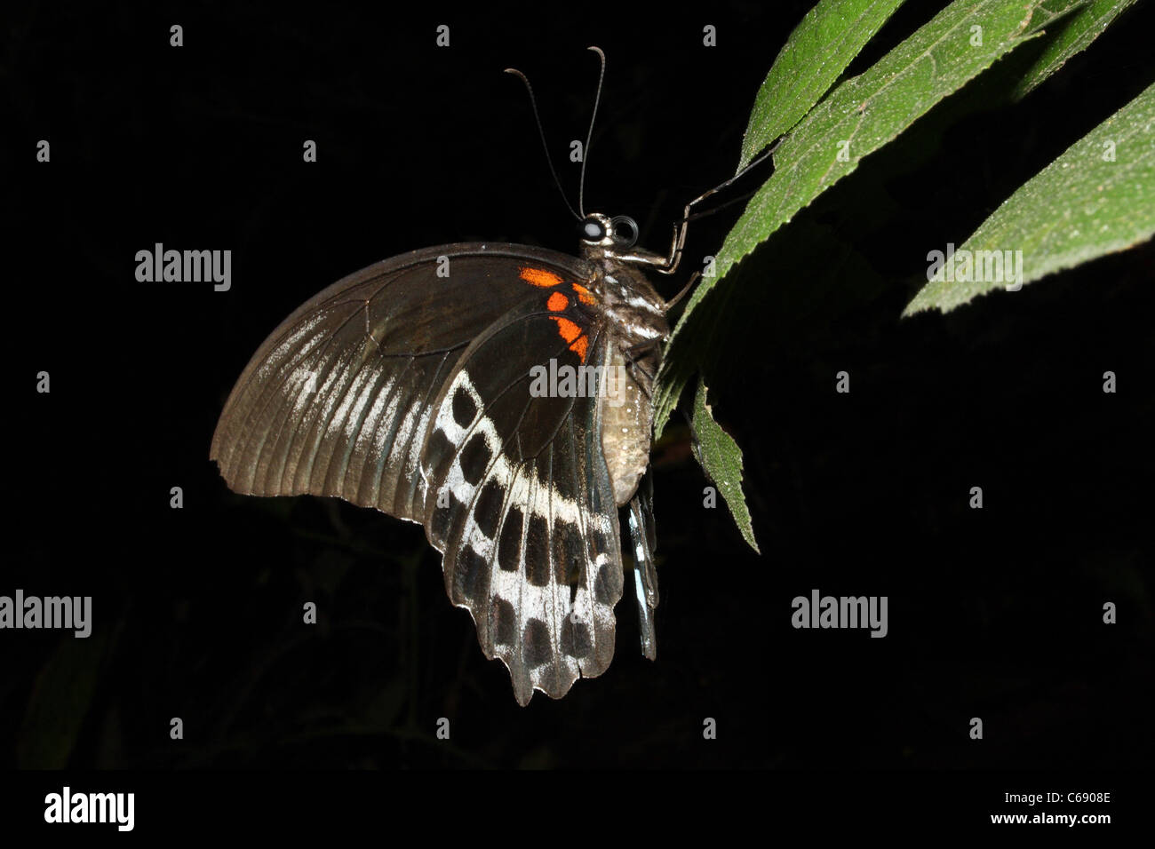 BLUE MORMON BUTTERFLY Papilio polymnestor Papilionidae : Swallowtails - Stock Image