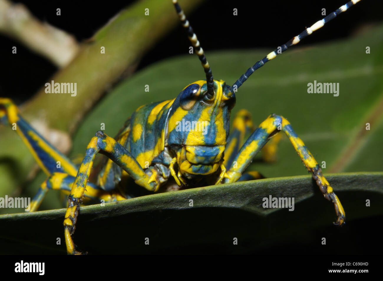 A painted grasshopper Poekilocerus pictus on a tree - Stock Image
