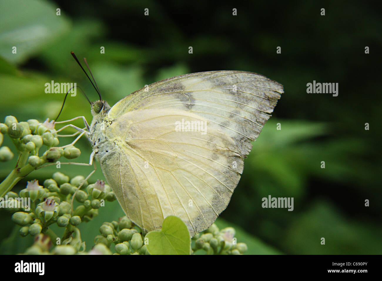 The Green-veined White butterfly (Pieris napi) - Stock Image