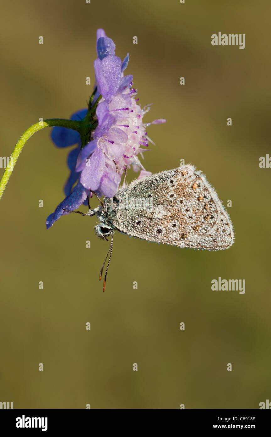 Chalkhill Blue Lysandra coridon - Stock Image