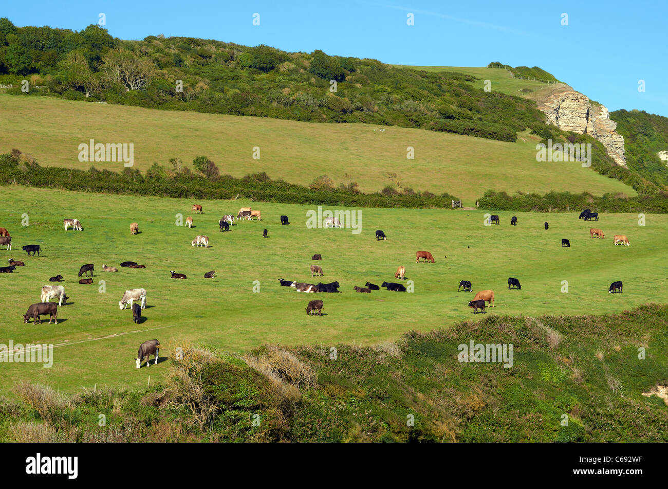 Cattle grazing on cliff top pasture above the beach at Branscombe, Devon, England - Stock Image