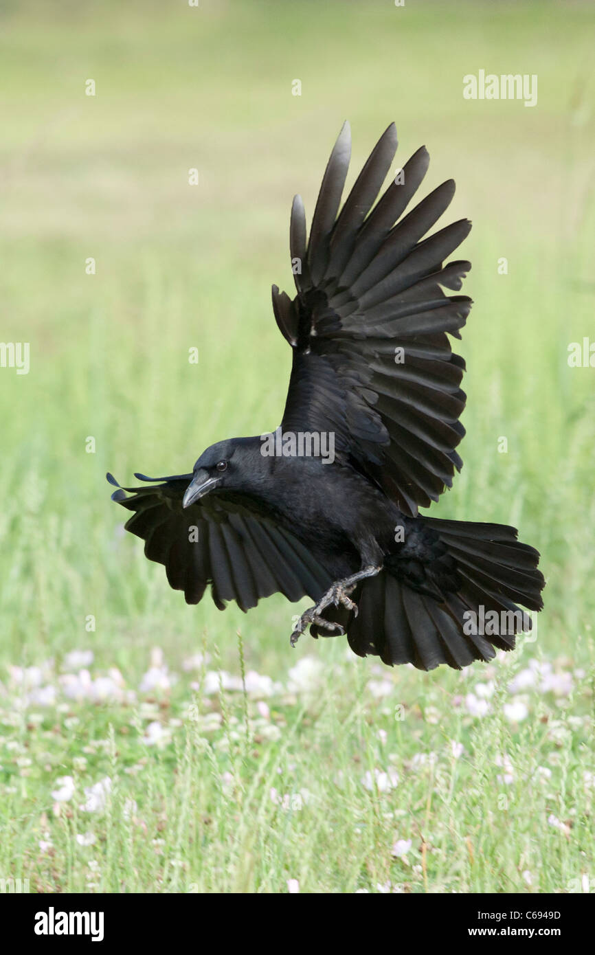 American Crow in Flight - vertical - Stock Image