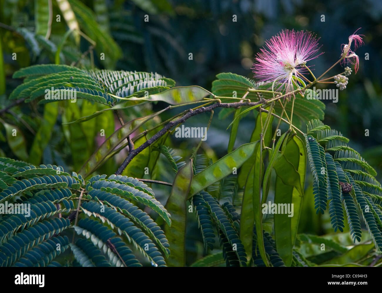 Silk Tree Albizia With Flowers And Seed Pods Stock Photo 38309855