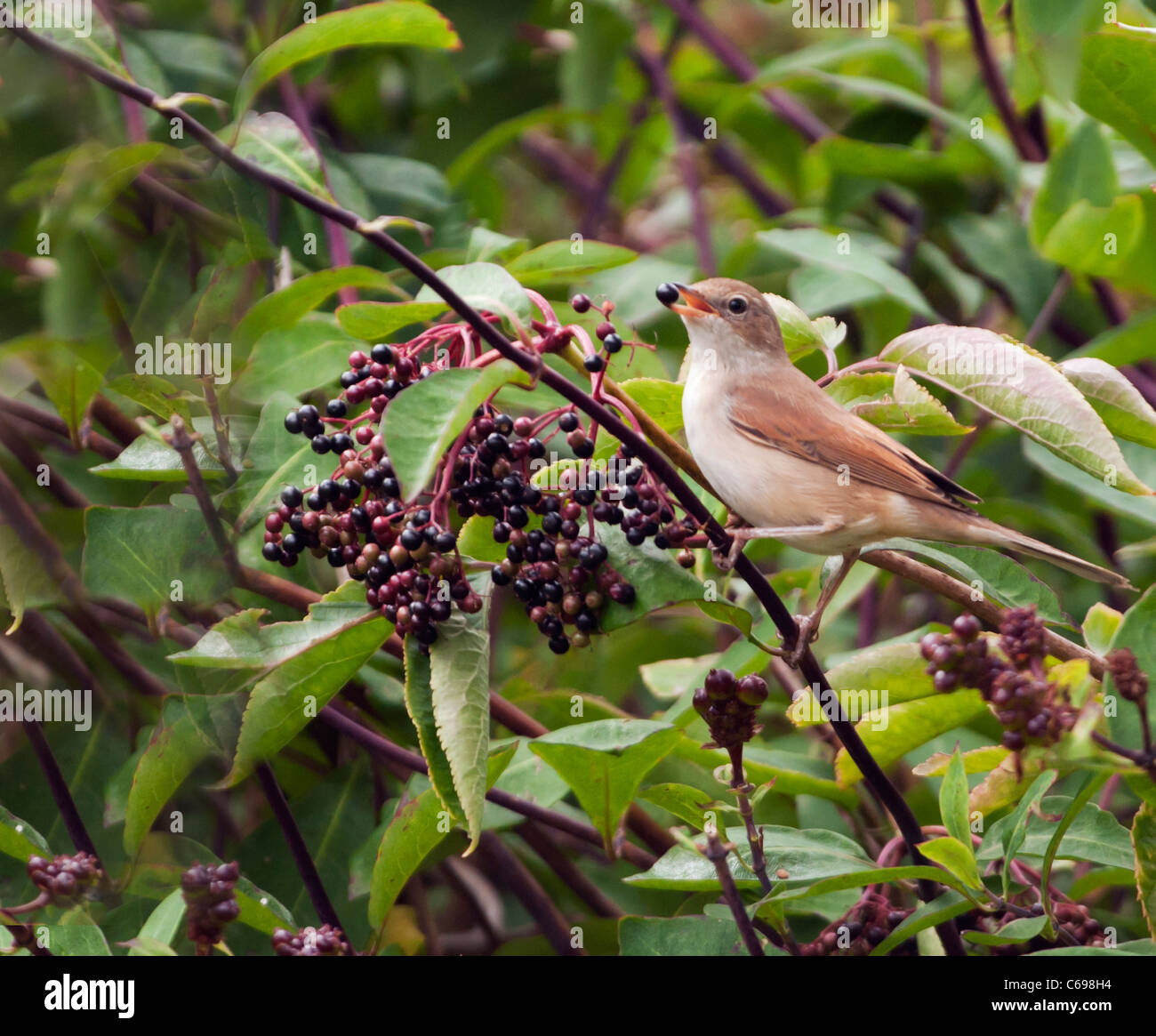 Juvenile Whitethroat (Sylvia communis) feasting on ripened Elderberries - Stock Image