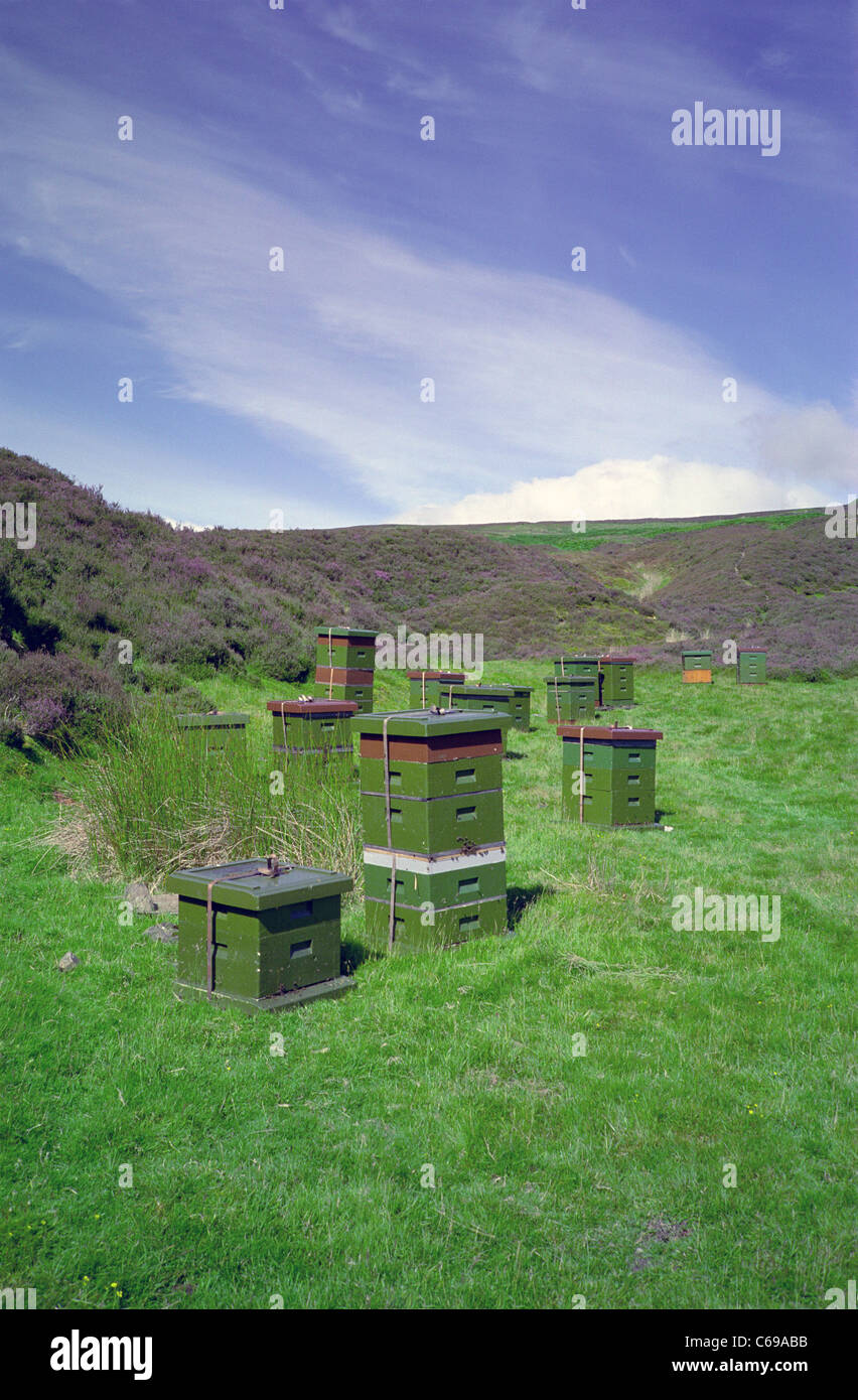 Beehives in the Heather Clad Southern Upland Hills in Summer outside Leadhills, South Lanarkshire, Scotland, UK - Stock Image