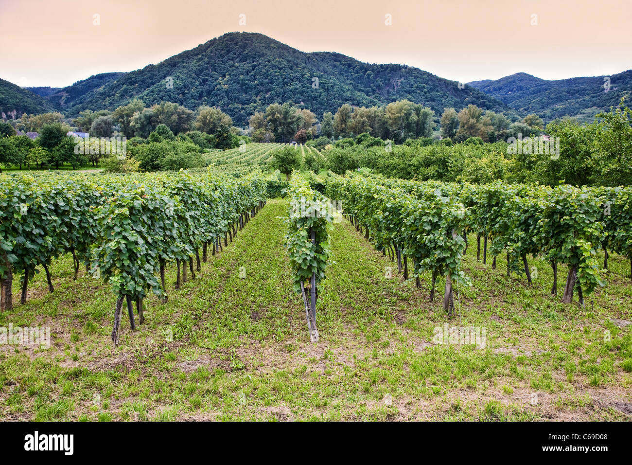 Vineyards at Durnstein in the Wachau Valley, Austria - Stock Image
