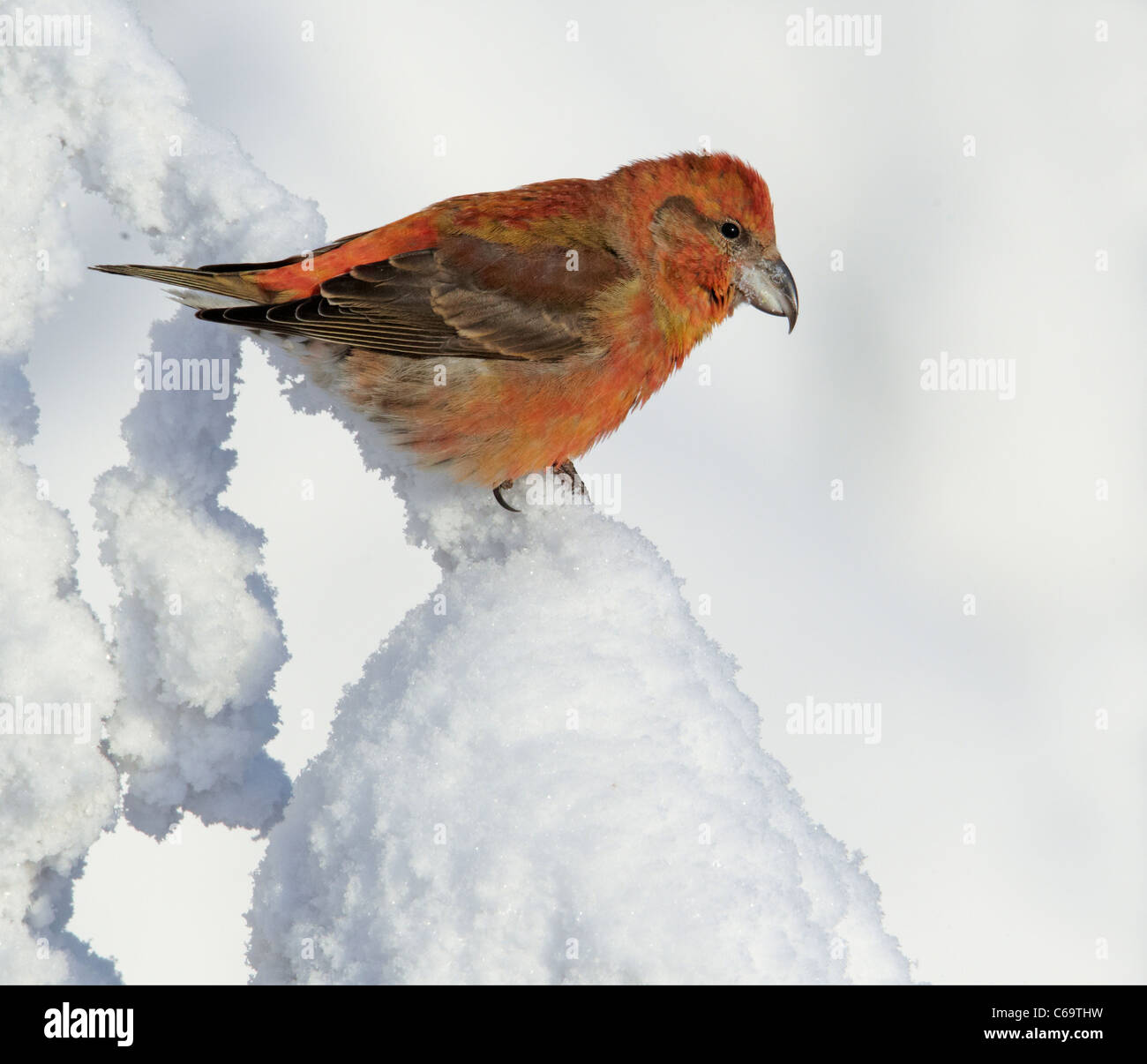 Common Crossbill, Red Crossbill (Loxia curvirostra). Male perched in a snowy spruce. Stock Photo
