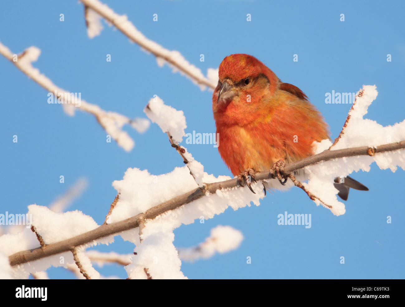 Common Crossbill, Red Crossbill (Loxia curvirostra). Male perched on a snowy twig. - Stock Image