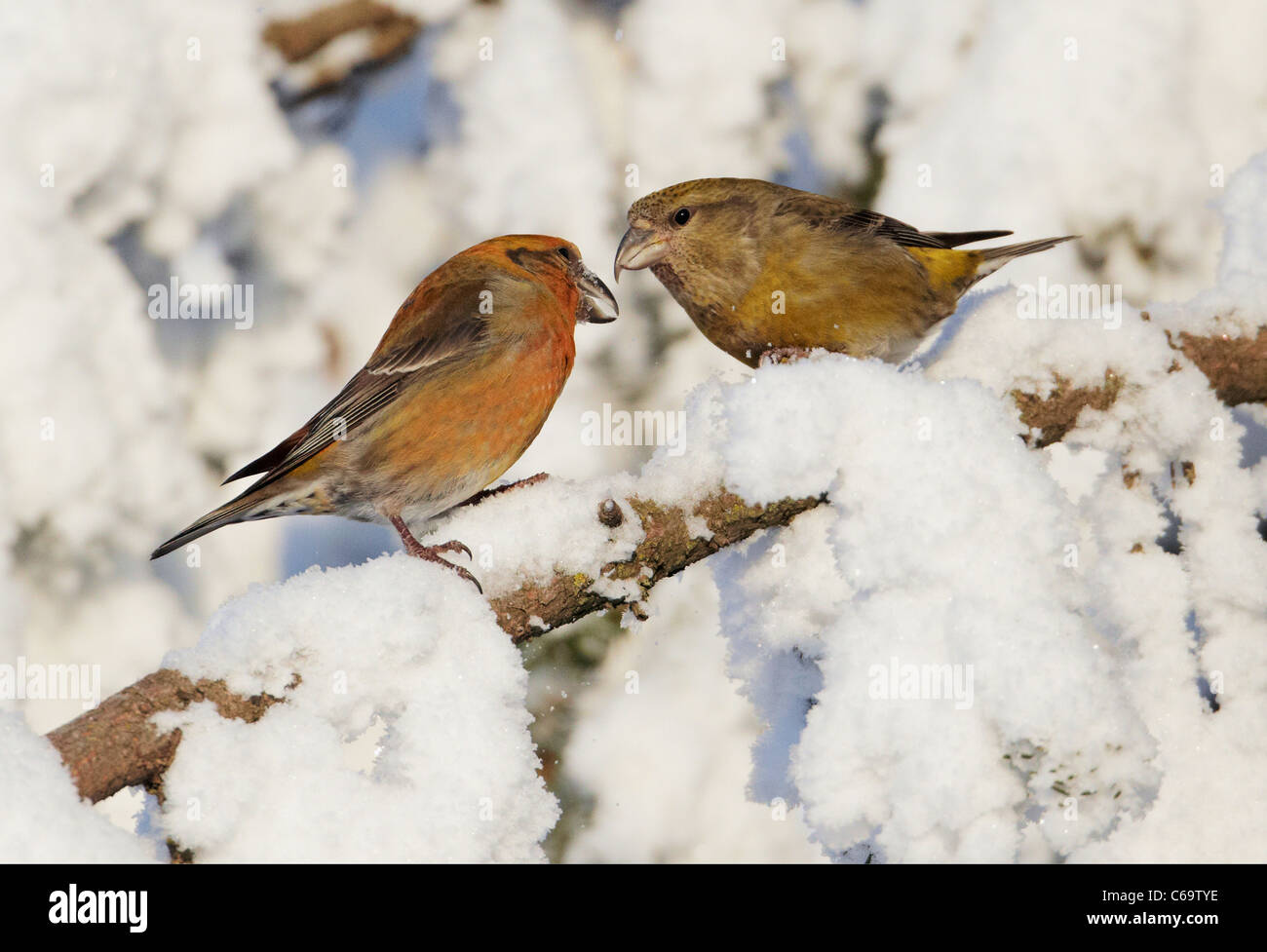 Common Crossbill, Red Crossbill (Loxia curvirostra). Couple perched in a snowy spruce. - Stock Image
