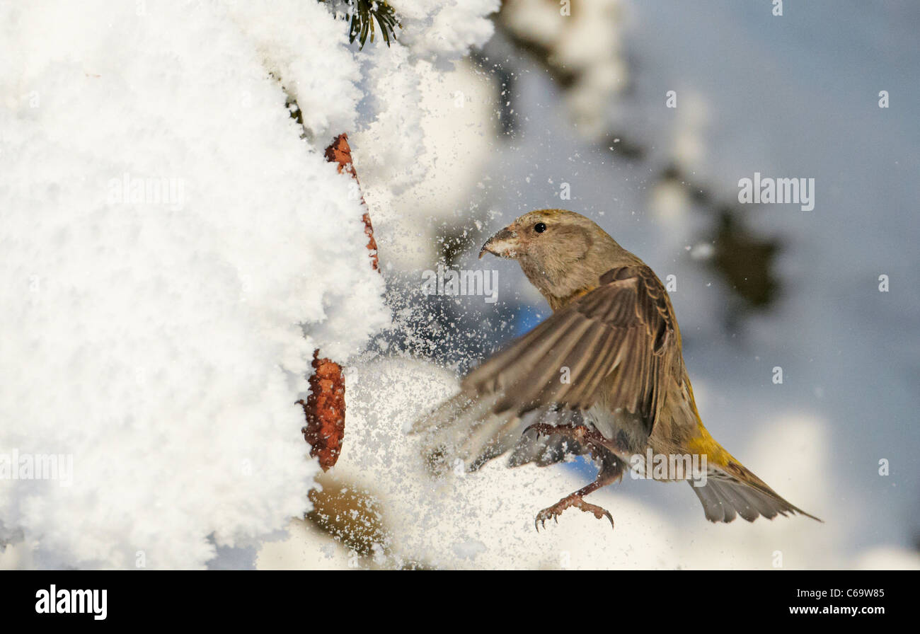 Common Crossbill, Red Crossbill (Loxia curvirostra). Female foraging in a snowy spruce. - Stock Image