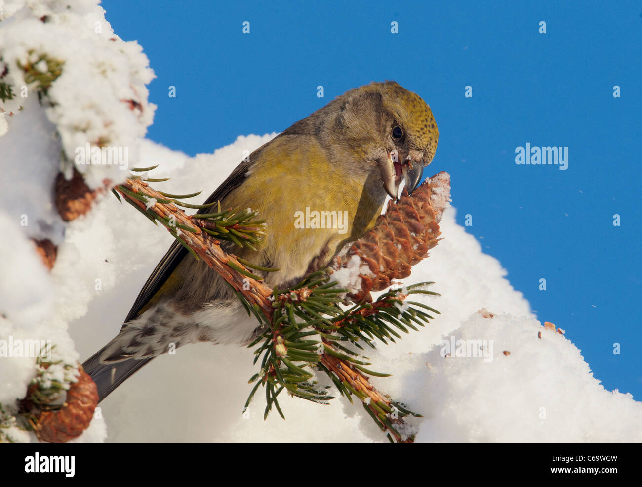 Common Crossbill, Red Crossbill (Loxia curvirostra). Female eating seeds from a spruce cone. - Stock Image