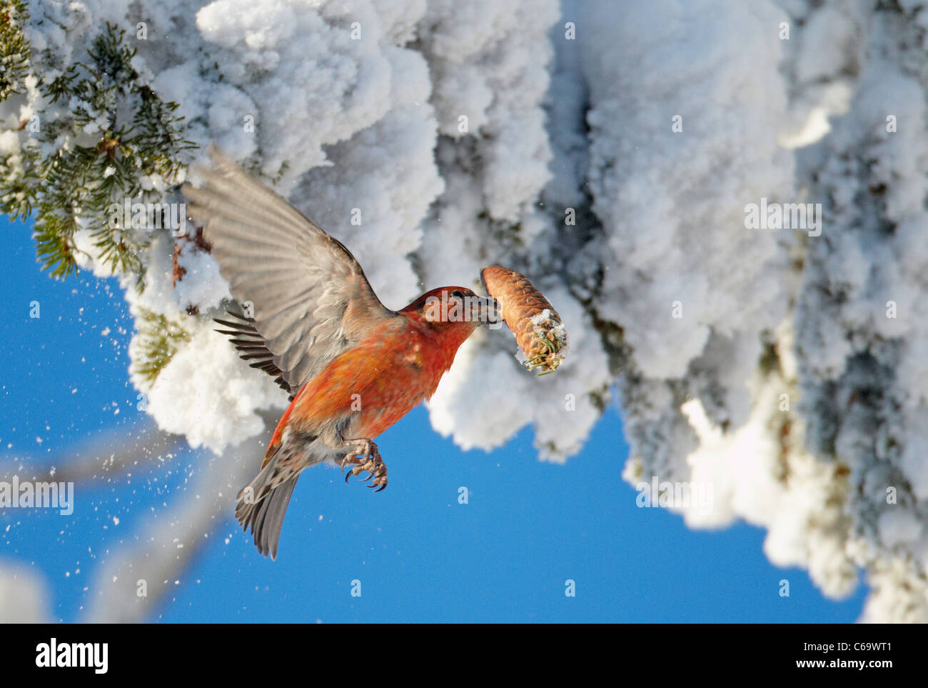 Common Crossbill, Red Crossbill (Loxia curvirostra). Male fetching a cone from a snowy spruce. - Stock Image