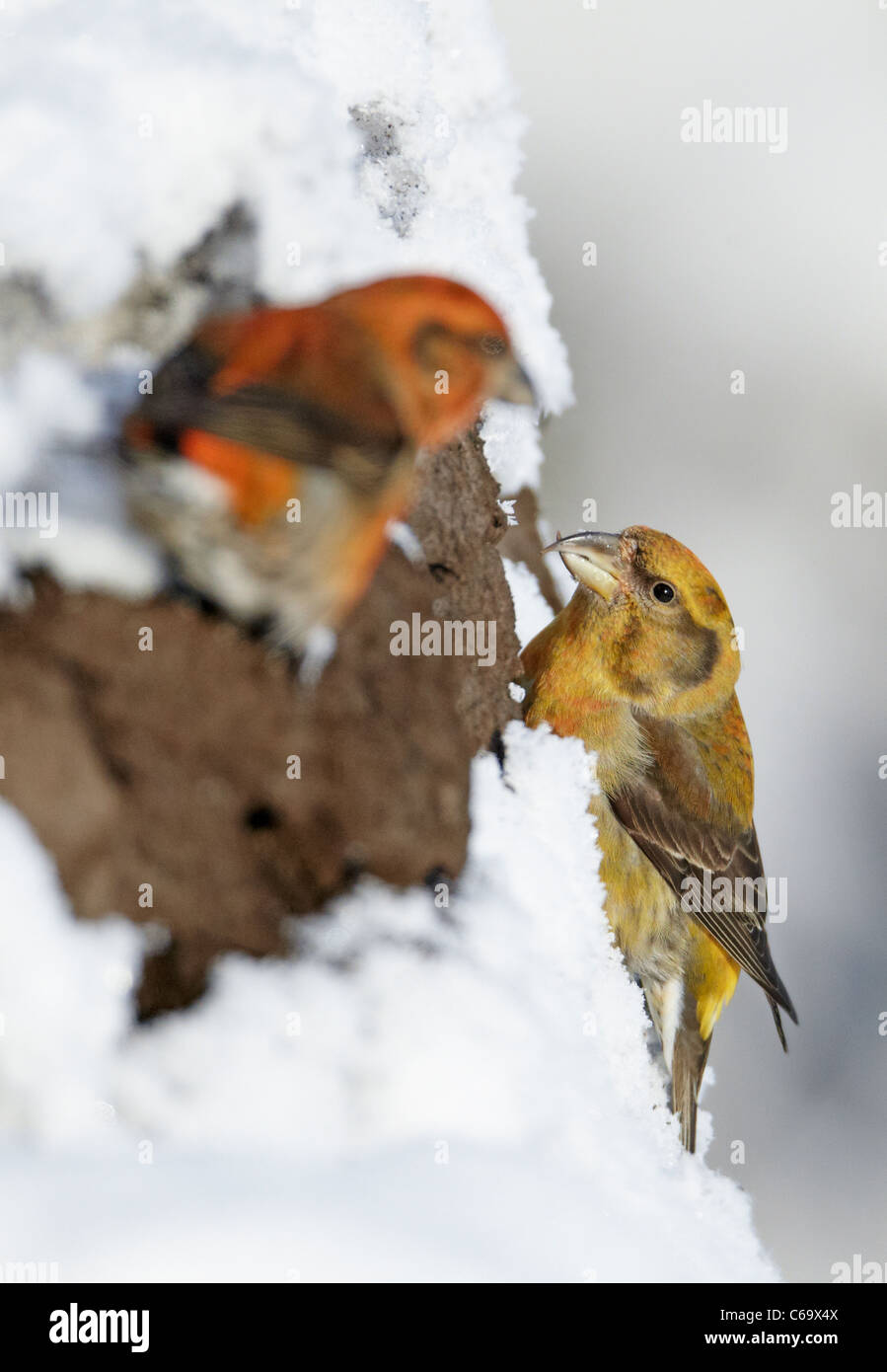 Common Crossbill, Red Crossbill (Loxia curvirostra). Pair foraging in a snowy spruce. - Stock Image