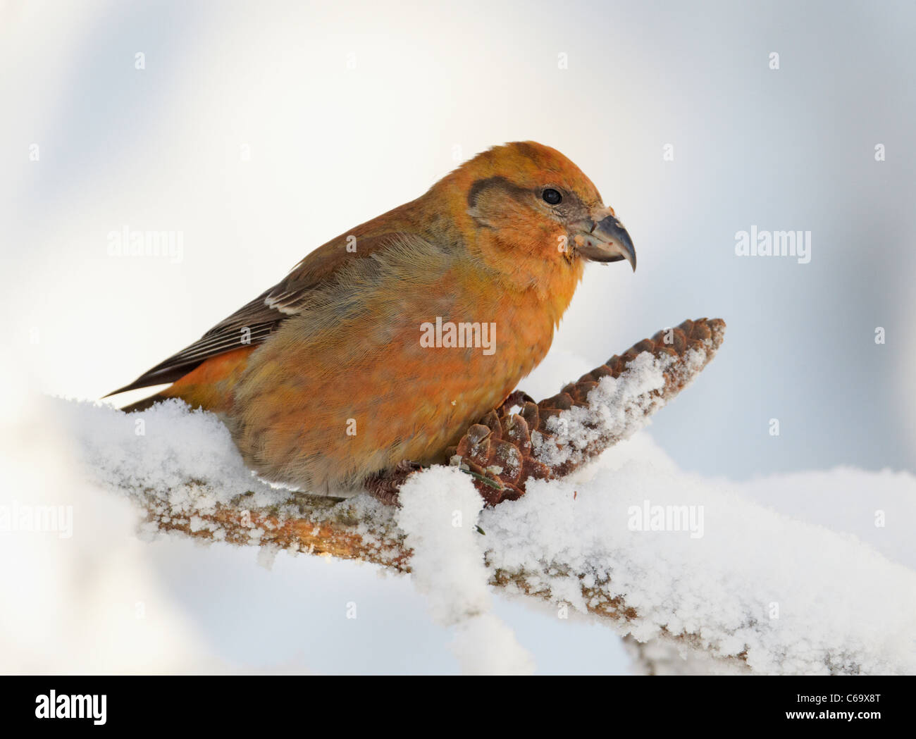 Common Crossbill, Red Crossbill (Loxia curvirostra). Male eating seeds from a spruce cone. - Stock Image