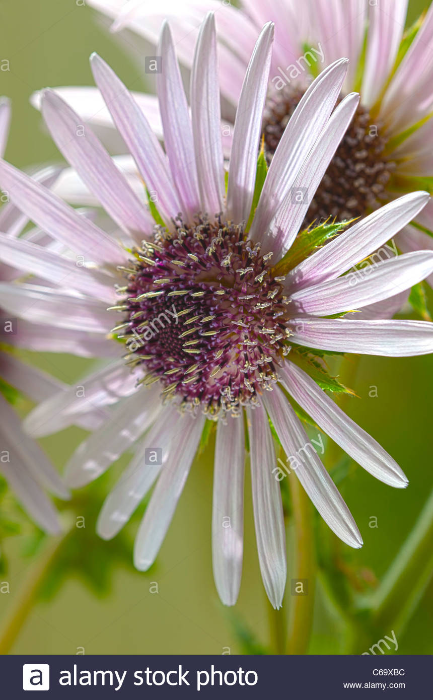 Zulu Warrior Silver Spike Berkheya purpurea summer flower thistle perennial August purple garden plant - Stock Image