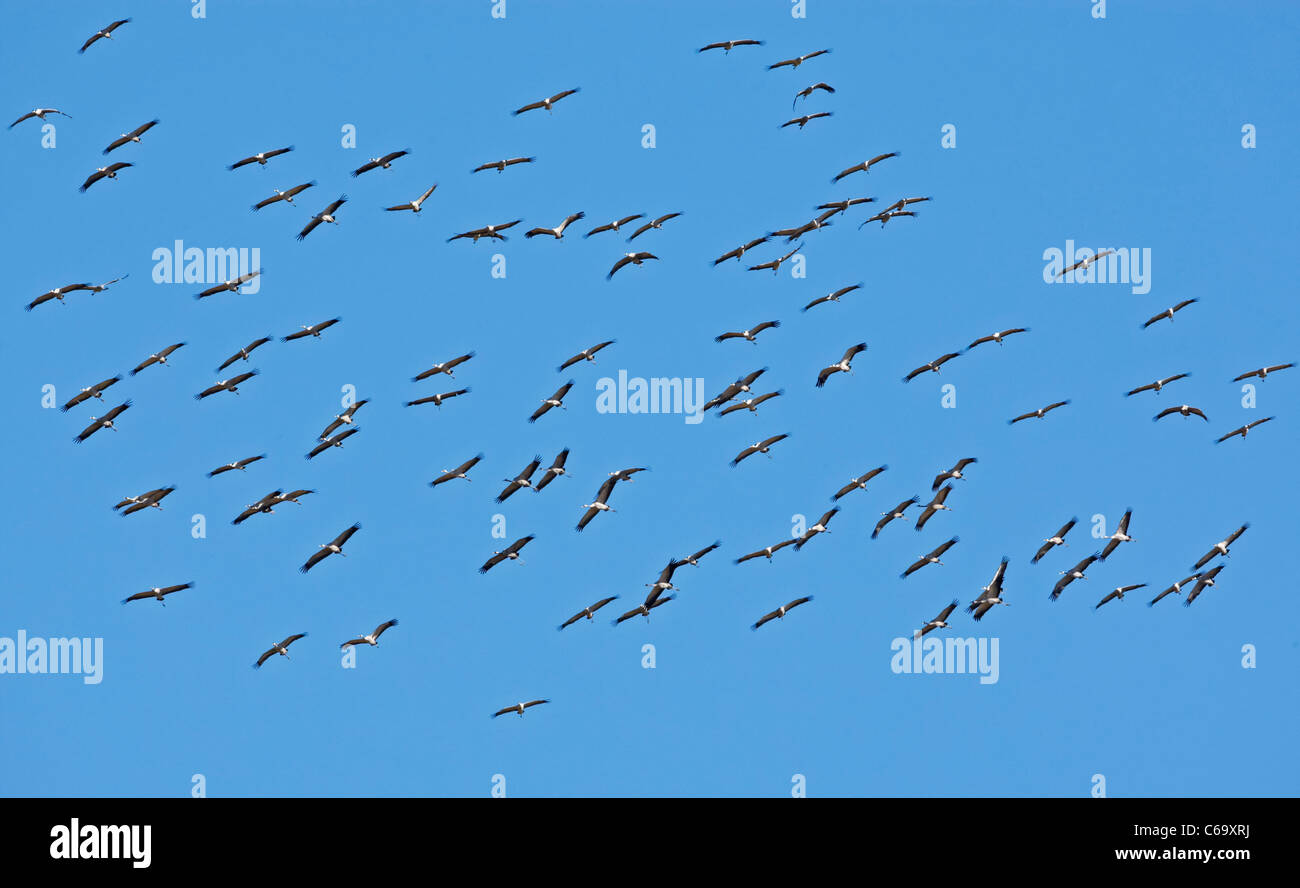 Common Crane, Eurasian Crane (Grus grus). Flock in flight. Stock Photo