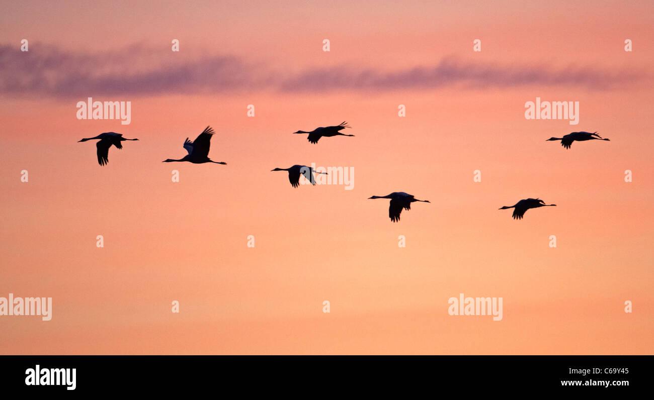 Common Crane, Eurasian Crane (Grus grus), migrating flock in flight, seen against a colorful morning sky. - Stock Image