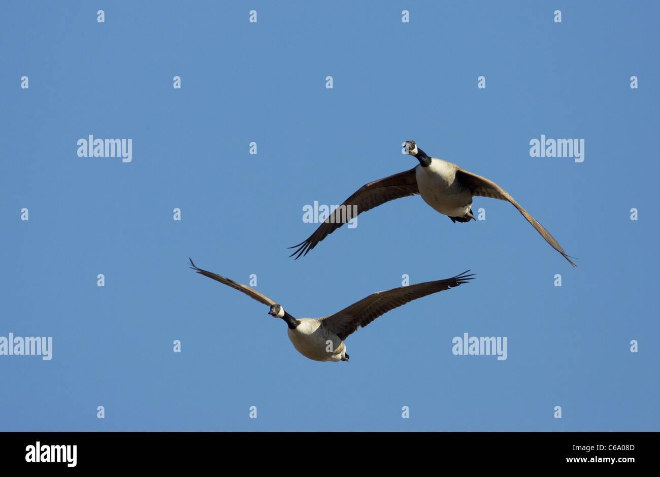 Canada Goose (Branta canadensis), pair in flight. - Stock Image