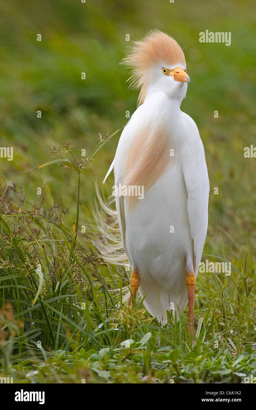 Cattle Egret, Buff-backed Heron (Bubulcus ibis, Ardeola ibis). Adult standing in wind. - Stock Image
