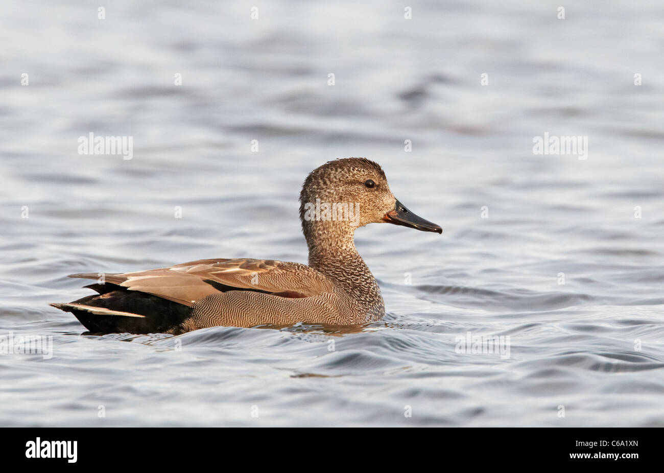 Gadwall (Anas strepera), drake on water. - Stock Image