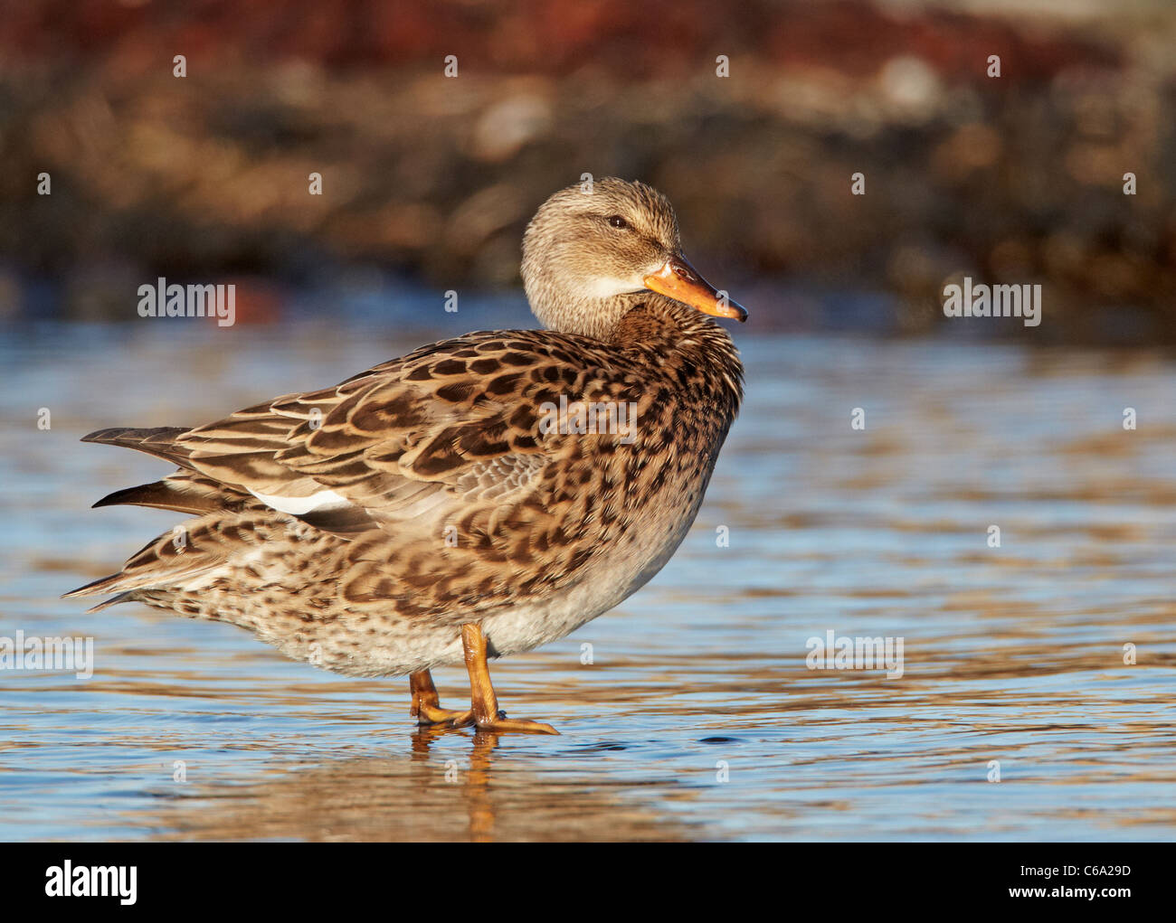 Gadwall (Anas strepera), female standing in shallow water. - Stock Image