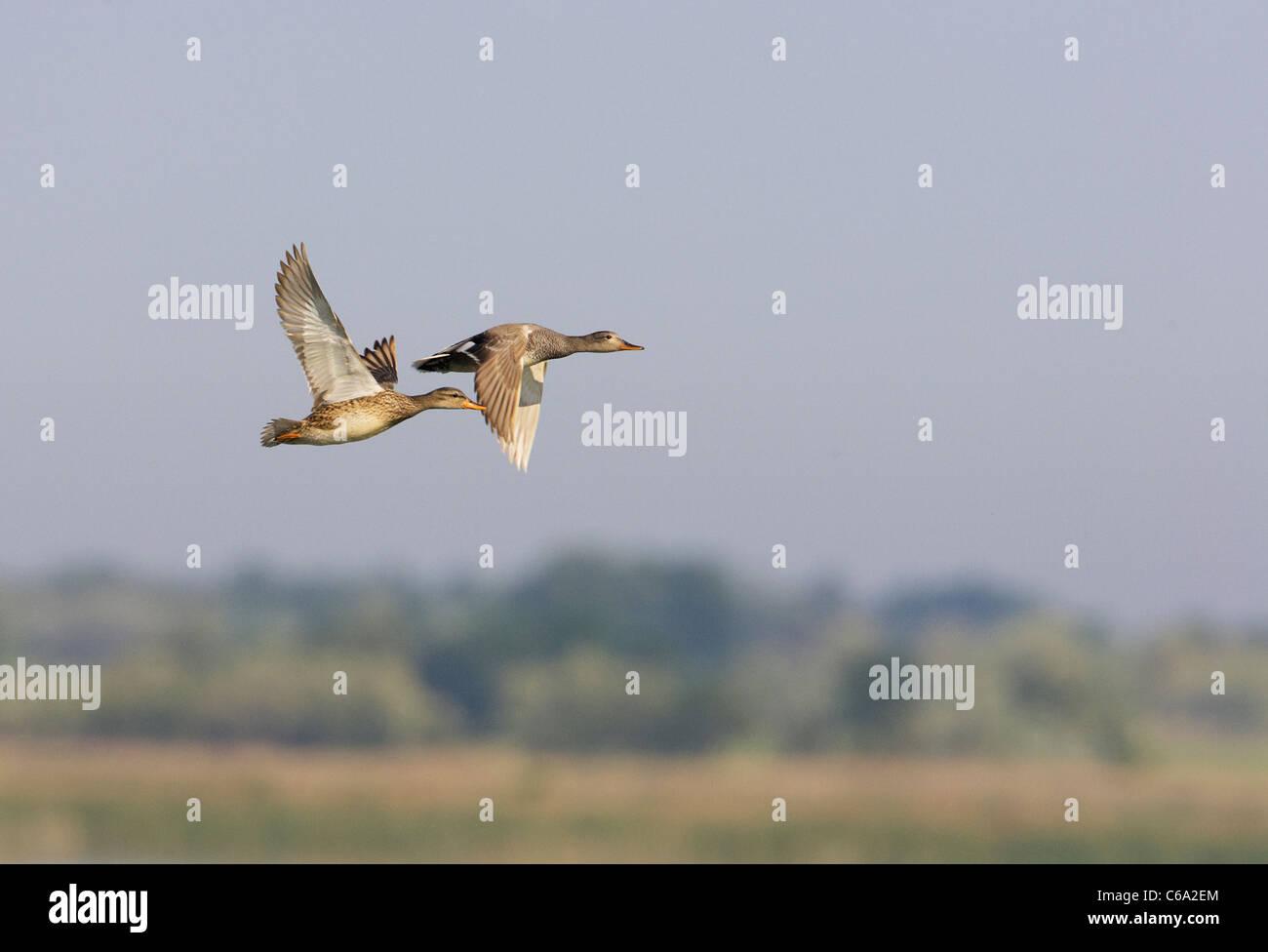 Gadwall (Anas strepera), pair in flight. - Stock Image