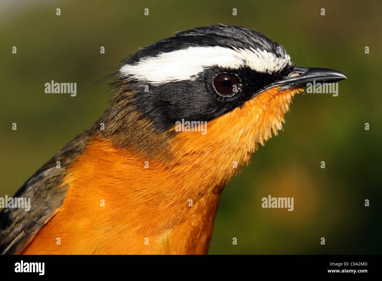 White-browed Robin-Chat, Cossypha heuglini, Ethiopia. - Stock Image
