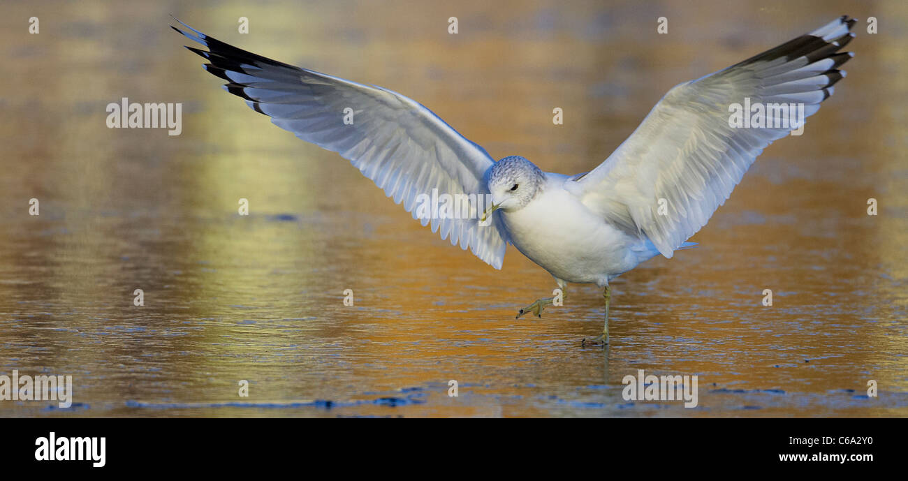Common Gull (Larus canus) in non-breeding plumage landing on ice. Stock Photo