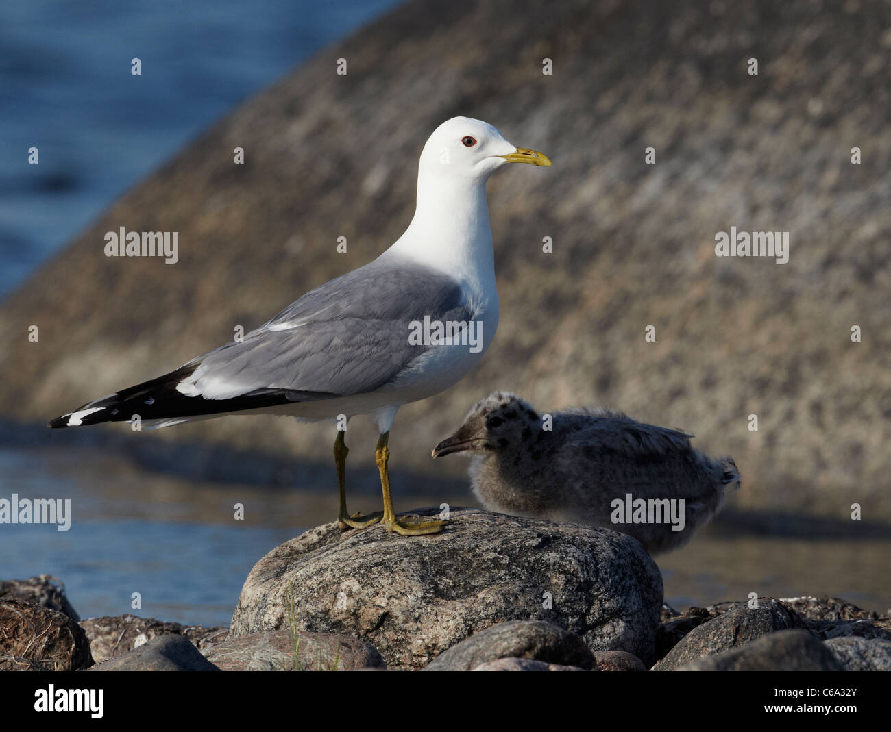 Common Gull (Larus canus). Adult with chick standing on a rock. - Stock Image