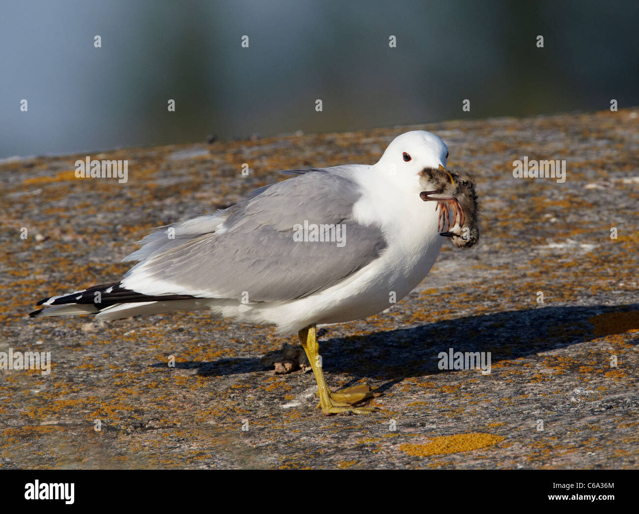 Common Gull (Larus canus). Adult with Redshank chick (Tringa totanus) in its beak. - Stock Image