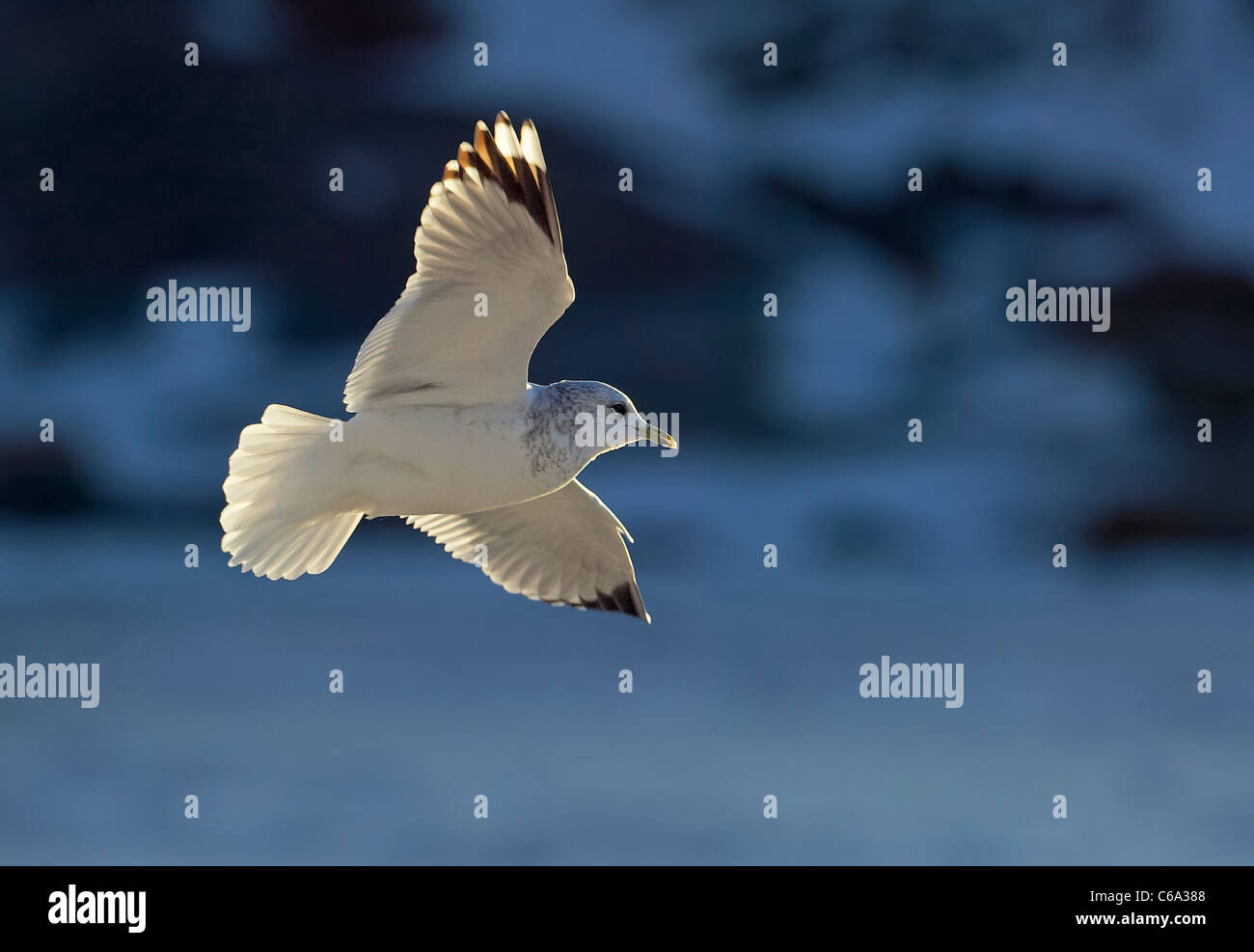 Common Gull (Larus canus) in non-breeding plumage in flight. - Stock Image