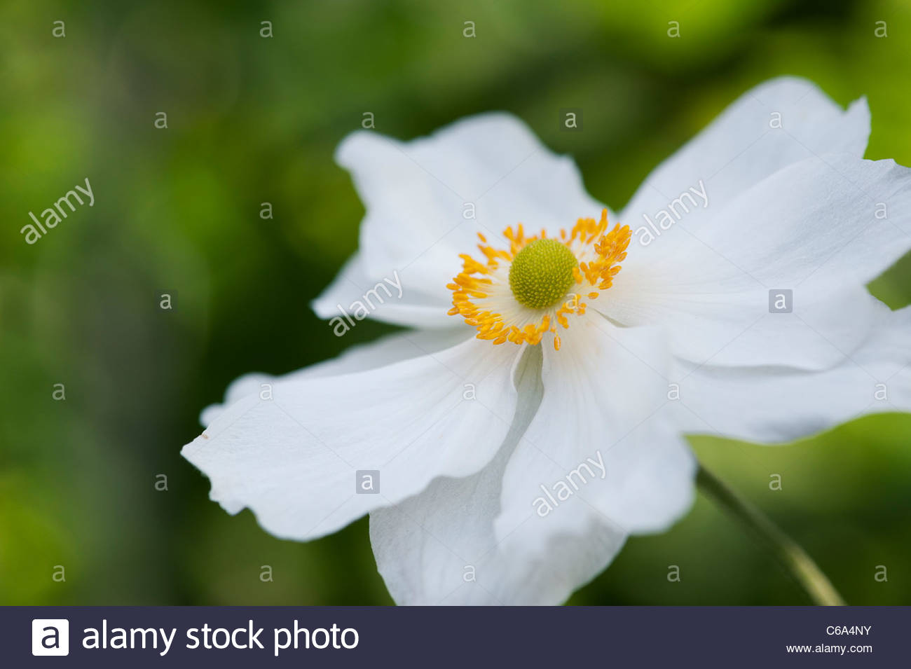 Anemone hybrida 'Honorine Jobert'. Japanese anemone flower - Stock Image
