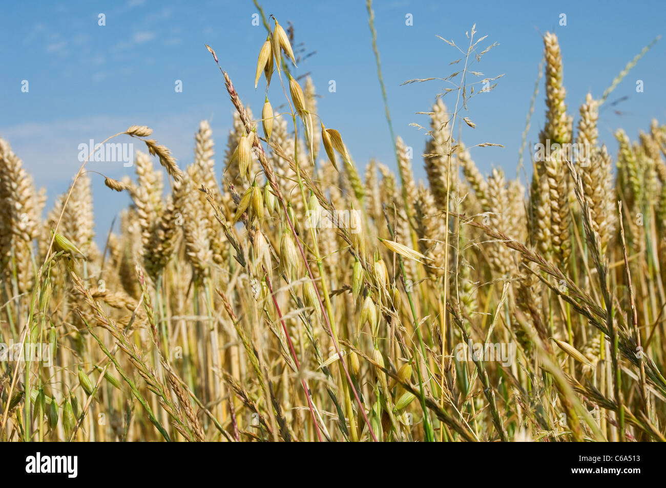 Close up of wheat and oats in field North Yorkshire England UK United Kingdom GB Great Britain - Stock Image