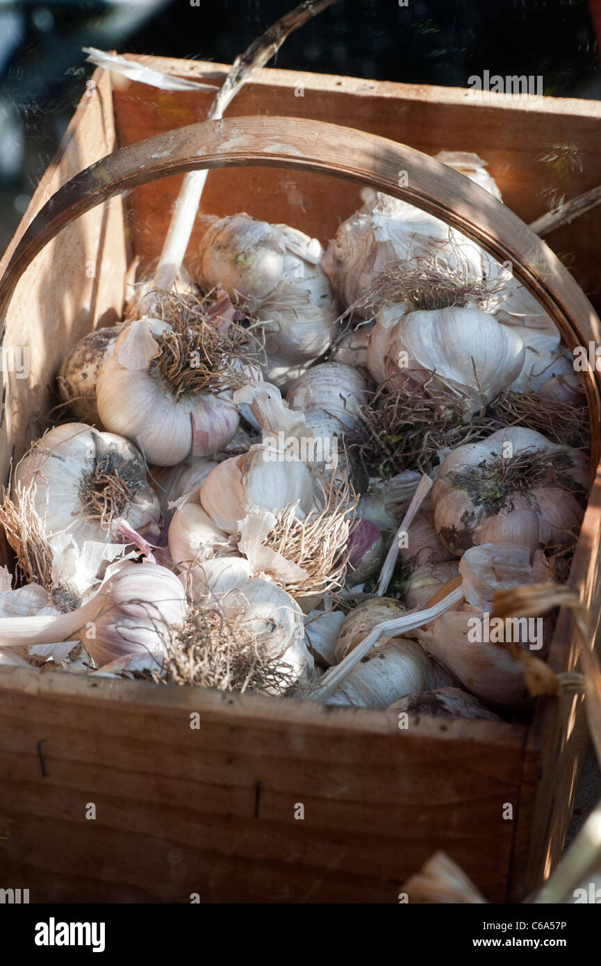 Garlic bulbs in a wooden trug. UK Stock Photo