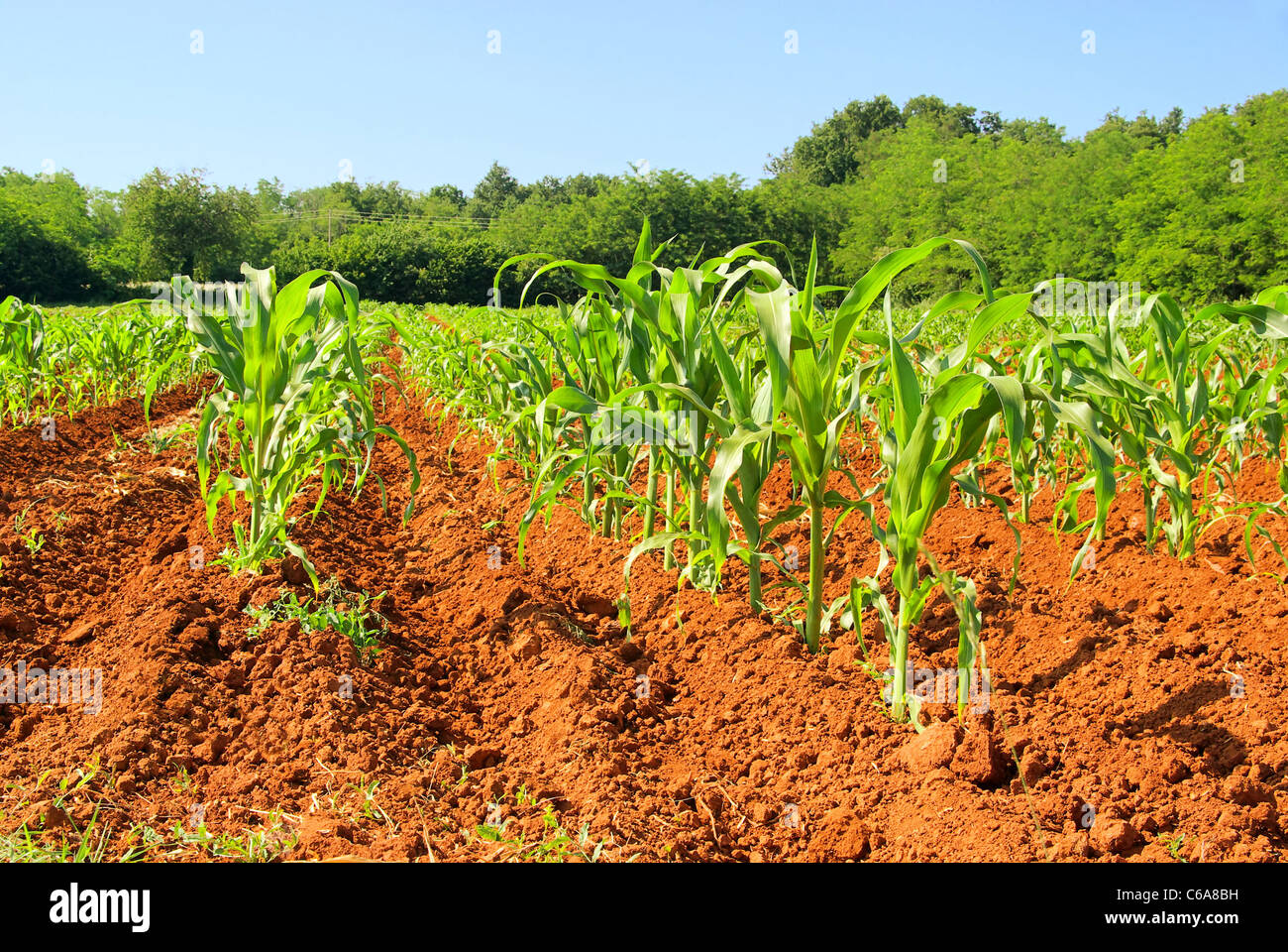 Maisfeld - corn field 03 - Stock Image