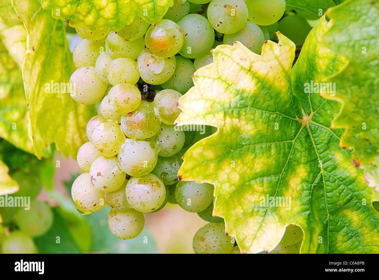 Weintraube weiss - grape white 11 Stock Photo