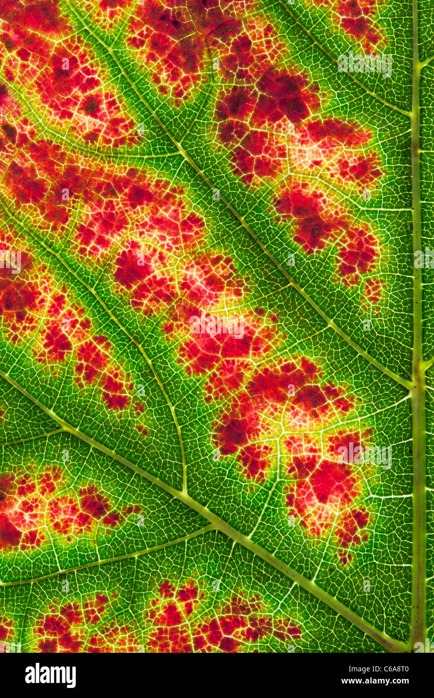 Grape Nero d'Avola leaf abstract. Grapevine Nero leaf changing colour pattern - Stock Image