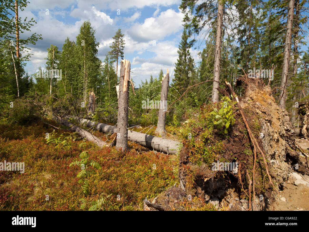 High winds storm damage in the forest . Uprooted and broken spruce trees ( picea abies ) , Finland - Stock Image