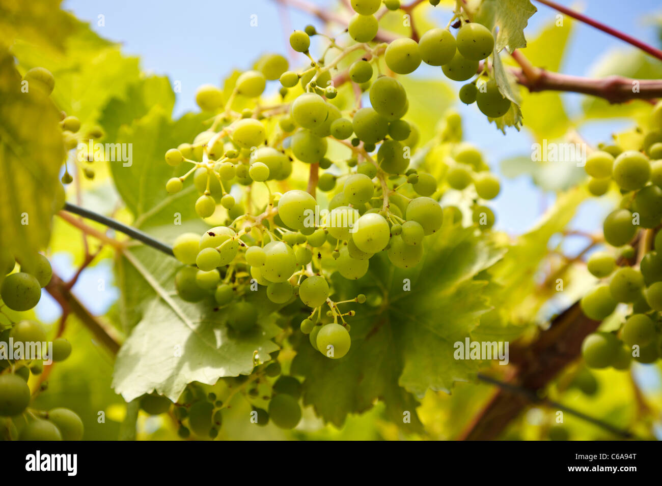 Young grapes on the vine - Stock Image