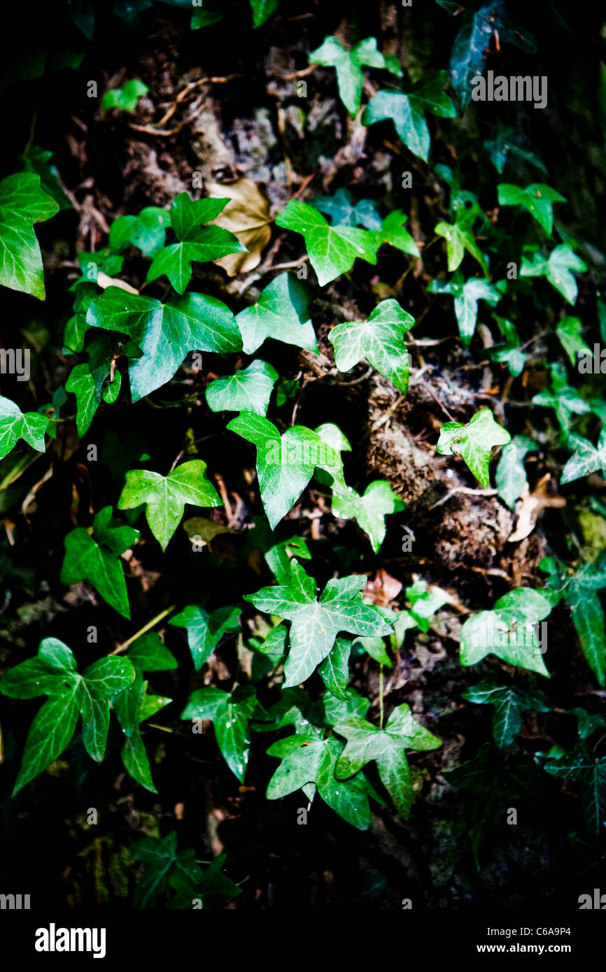 Ivy climbing (lat. Hedera helix) winds around the trunk of the tree Stock Photo