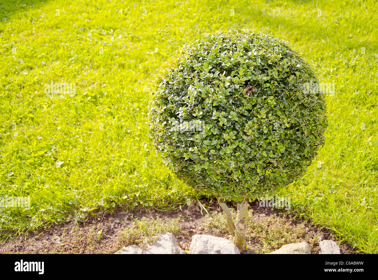 ball form tree in the garden ant grass background Stock Photo