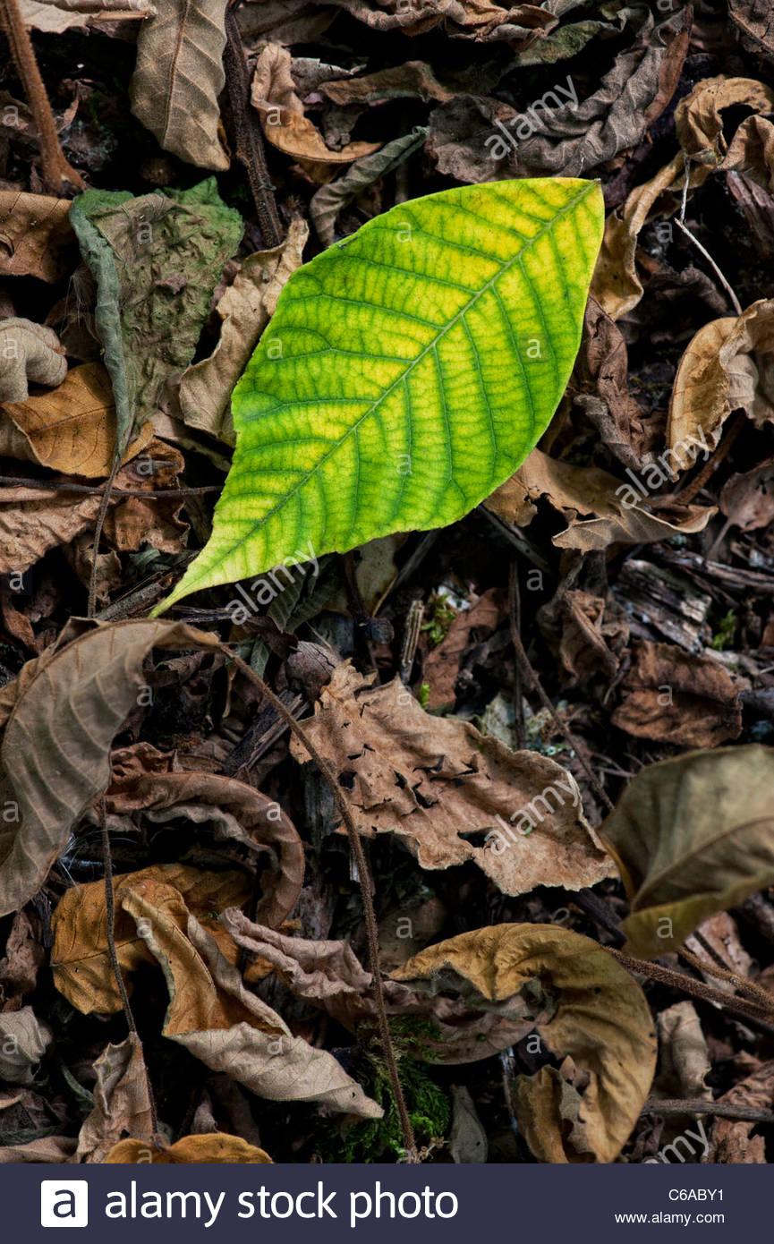 Juglans ailanthifolia . Japanese Walnut tree leaves on woodland floor - Stock Image
