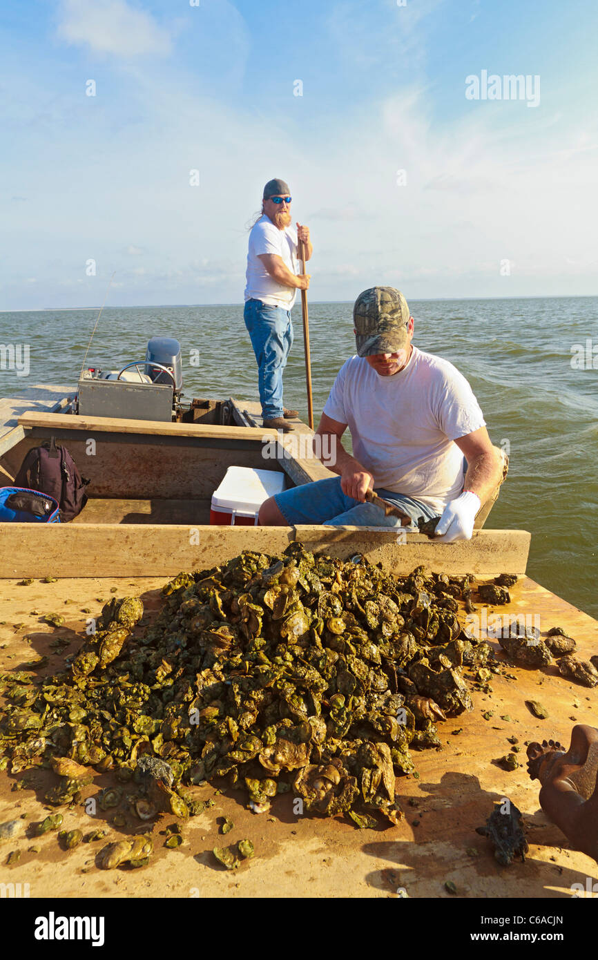 Oyster fishermen sorting oysters and working with traditional harvest tongs and baskets in Apalachicola Bay - Stock Image