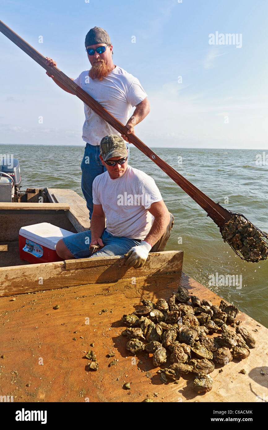 Oyster fishermen working with traditional harvest tongs and baskets in Apalachicola Bay - Stock Image
