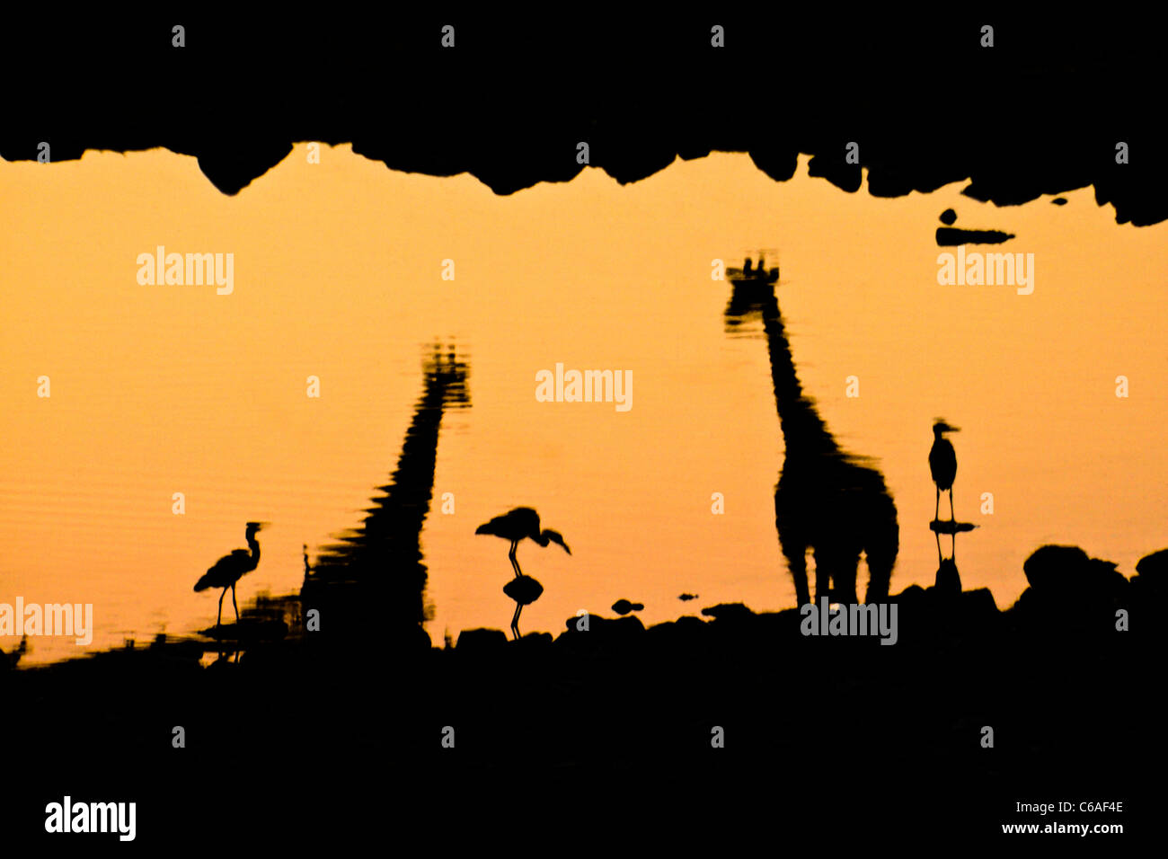 Giraffes and egrets reflected in waterhole at sunset, Etosha NP, Namibia - Stock Image