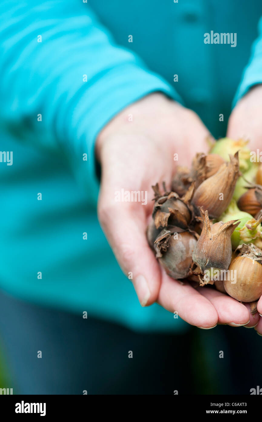 Woman with a handful of Hazelnuts / Cobnuts - Stock Image