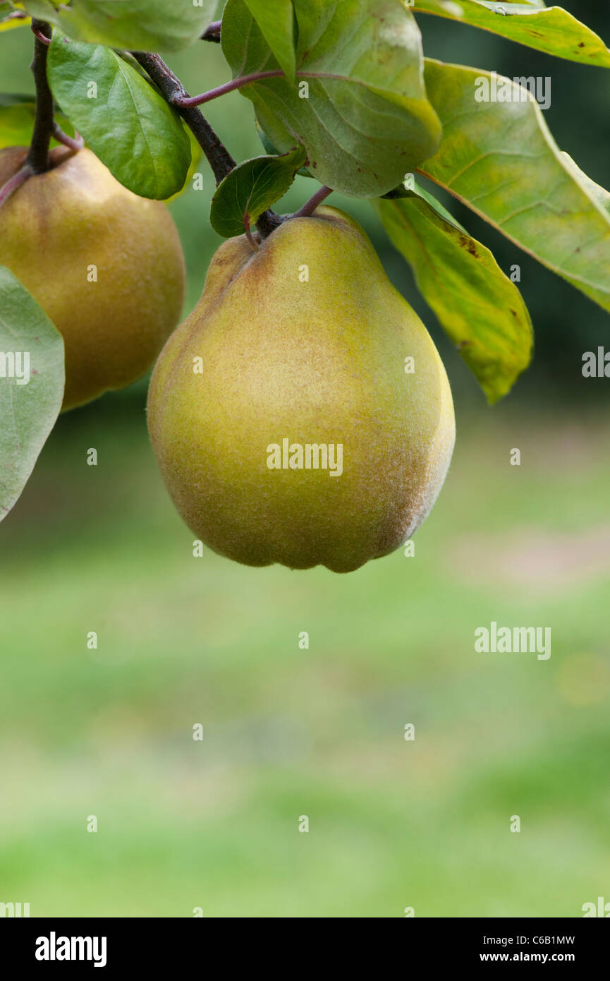 Cydonia oblonga . Quince Isfahan fruit on the tree - Stock Image