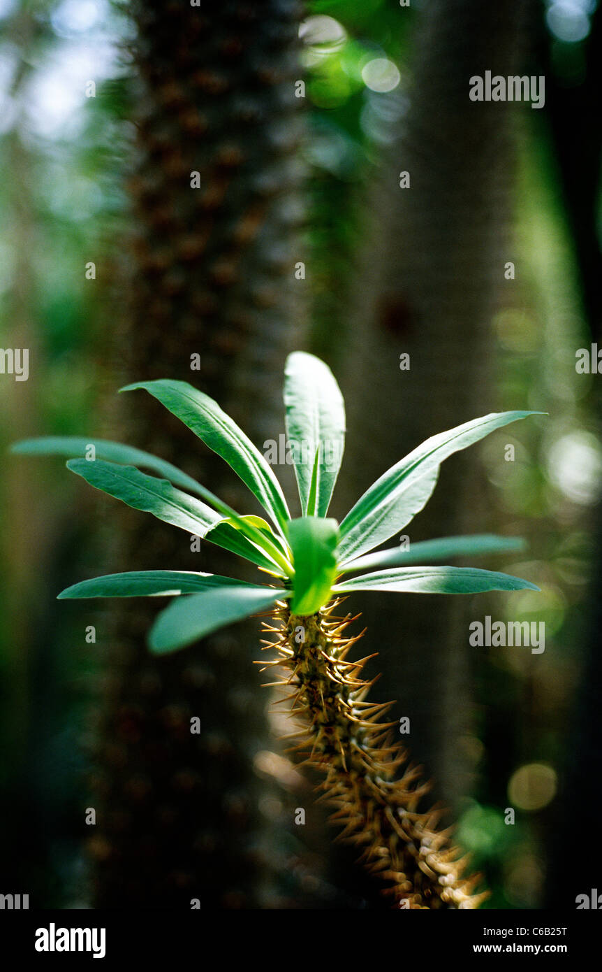 Pachypodium lamerei at Palmengarten Botanical Gardens in Frankfurt am Main. - Stock Image